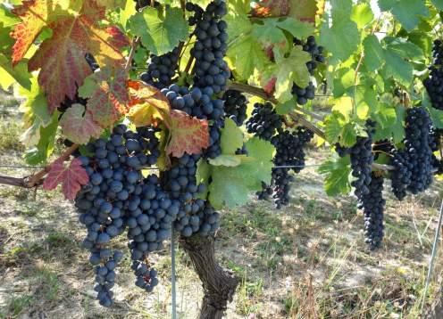 24 mondo bike tours piedmont red grapes