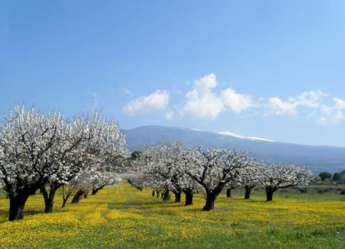 04 cherry blossoms and ventoux mondo bike provence