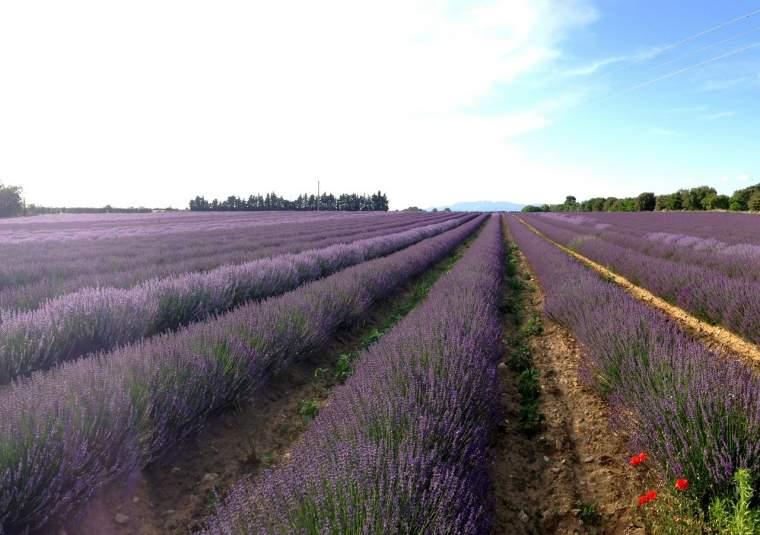 17 lavendar in provence mondo bike tours