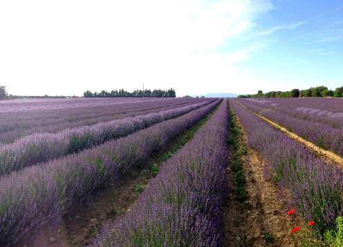 17 lavendar in provence mondo bike tours