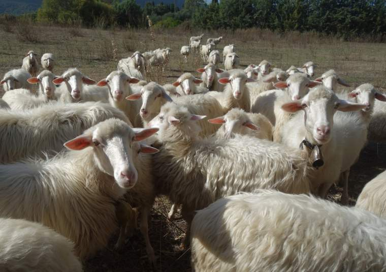 11 sardinian sheep customwalks tours